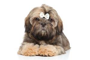 shihtzu puppy portret op een witte achtergrond foto