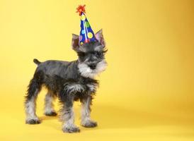 alert miniatuur schnauzer puppy hond kopie foto