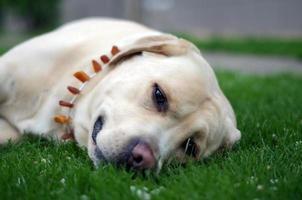 labrador retriever poseren. zomer en gras achtergrond foto