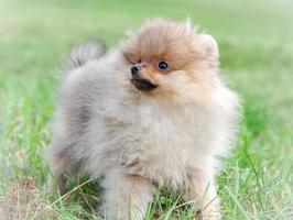 pomeranian hond