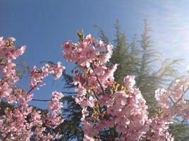 lentebloemen, tokyo foto
