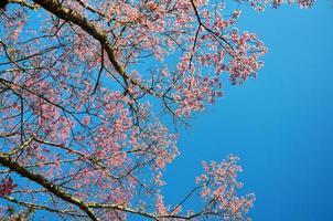 kersenbloesem Lentebloemen