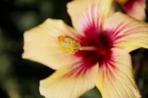 hibiscus close-up foto
