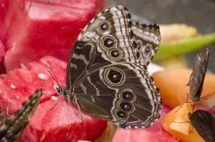 blauwe morphos vlinder foto