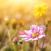 goudsbloem bloemen in het zonlicht foto