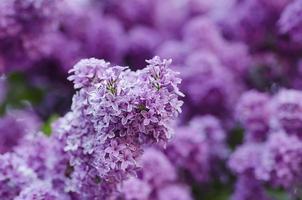 lila Lentebloemen