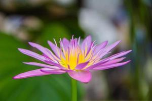 lotus, frisse kleur, met gele meeldraden van de lotusbloem