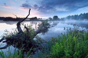 mistige zonsopgang op rivier met oude boom in water