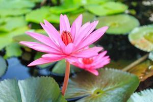 lotusbloemen