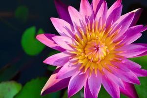 prachtige lotus