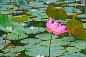 roze lotusbloesems of waterleliebloemen die op vijver bloeien