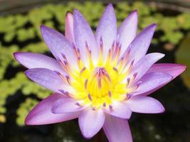 close-up van paarse lotusbloem