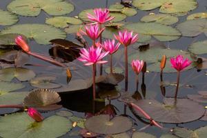 roze lotusbloemen en knoppen in een vijver
