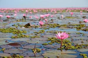 roze lotus in meer