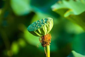 vrucht van de lotus