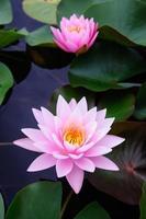 deze prachtige waterlelie of lotusbloem