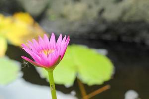 lotus roze bloem in de natuur
