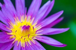 macro geel paars en roze lotus close-up shot