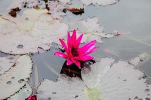 roze lotus en gele bladeren