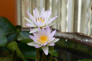 paarse lotus in het bassin