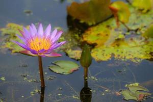 paarse lotus in het moeras