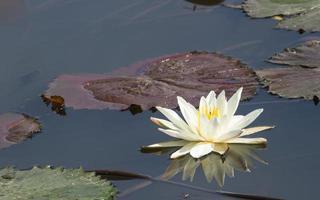 witte lotus met de reflectie