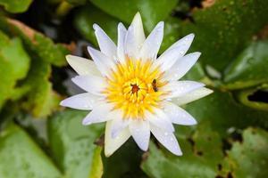 witte lotus en bijen in het zwembad
