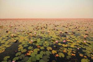 rode lotus in de vijver in kumphawapi, udonthani, thailand