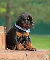 dobermann pup rust