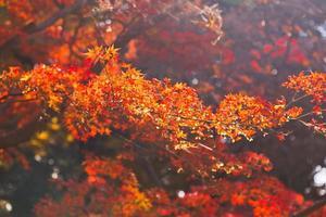 Japanse esdoornbladeren in de herfst