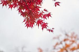 rode esdoornbladboom foto