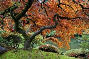 rode esdoorn, japanse tuin