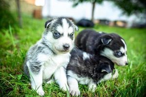 mooie kleine husky pup buiten in de tuin foto