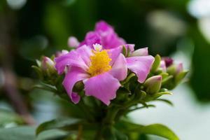 rhodocactus panamensis, cactaceae, colombia - panama foto