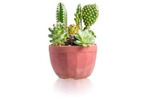 cactus geïsoleerd op een witte achtergrond foto