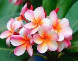 plumeria bloemen foto