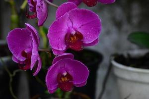 roze orquidea foto