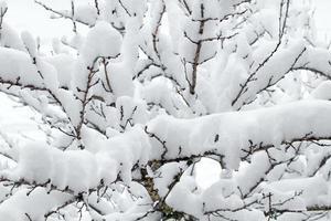 witte sneeuw op de boomtak