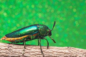 buprestidae insect op groene achtergrond