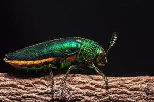 buprestidae insect op natuurlijke achtergrond