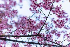 prunus cerasoides bloemen