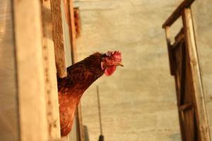 kip op een boerderij foto