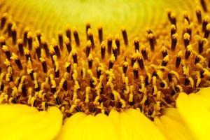 heldere zonnebloemen foto