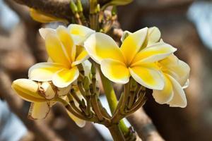 frangipani, plumeria bloemen foto