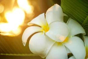frangipani bloem in de ochtend. foto