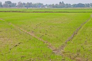padieveld in Thailand