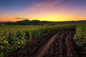 zonnebloem veld bij zonsopgang foto