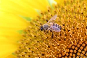 abeille butine un tournesol