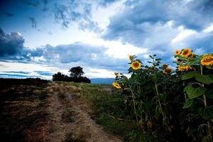 prachtige zonnebloemen in het veld foto