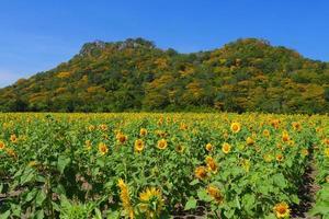 gele zonnebloemenvelden met berg in achtergronden foto